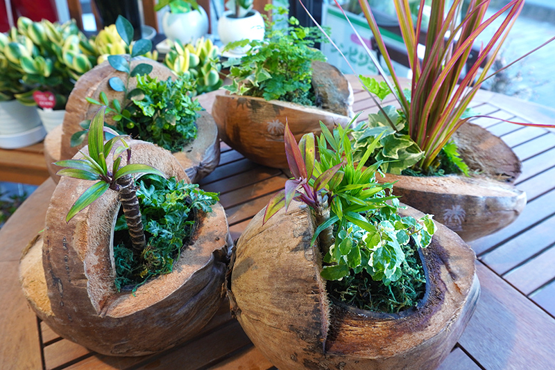 ココヤシ観葉植物